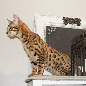Gattino della savana e del Bengala addestrato Came