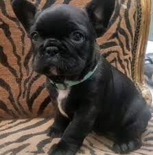 Magnifici cuccioli di Bulldog francese