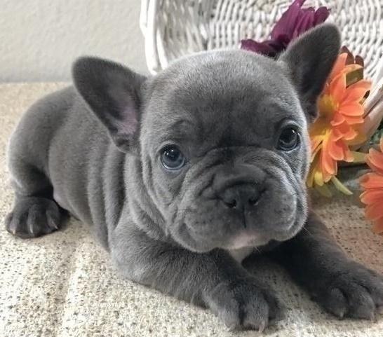 Akc ha registrato un cucciolo di Bulldog francese