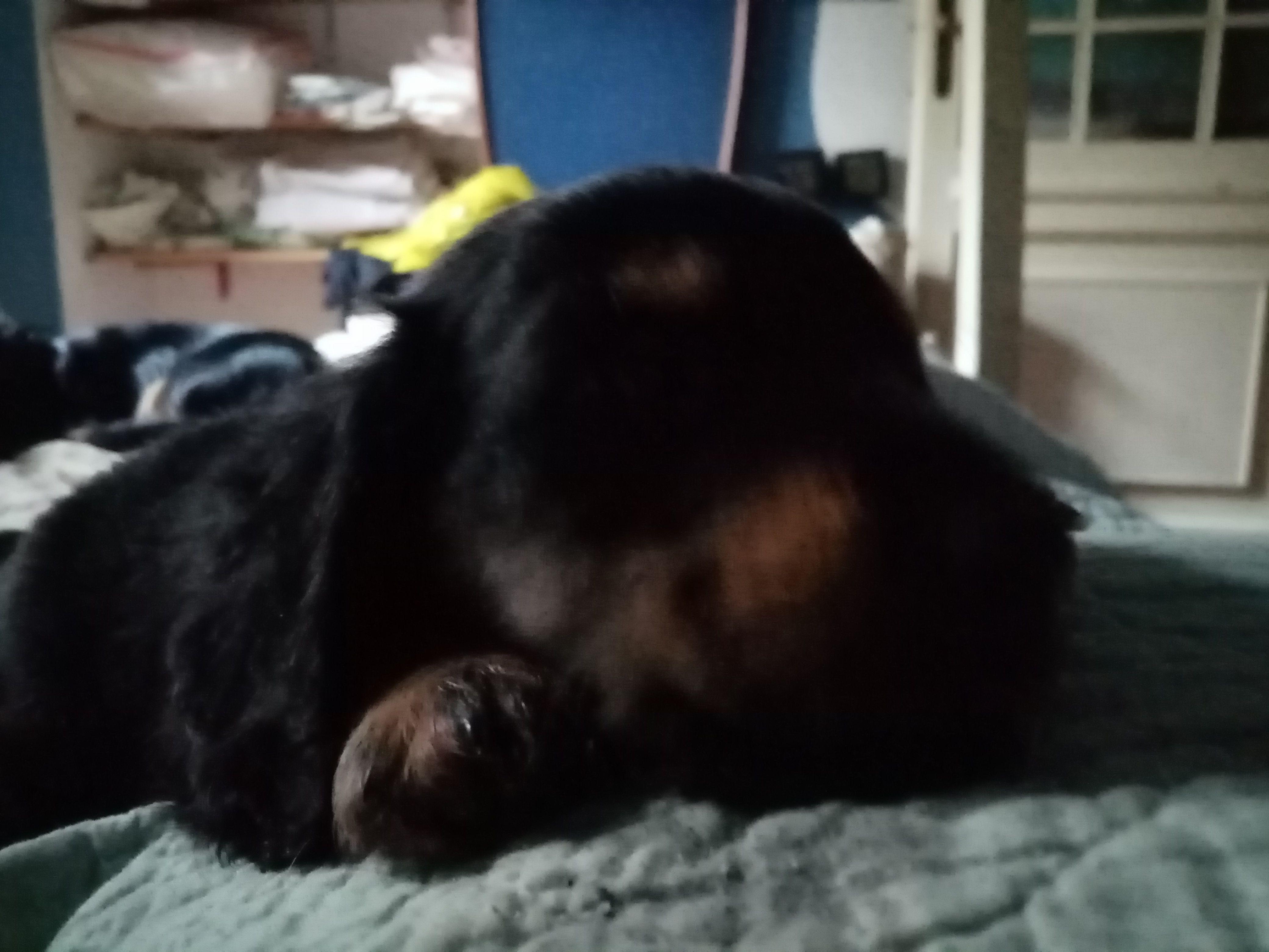Bellissimi cuccioli di bassotti a pelo lungo