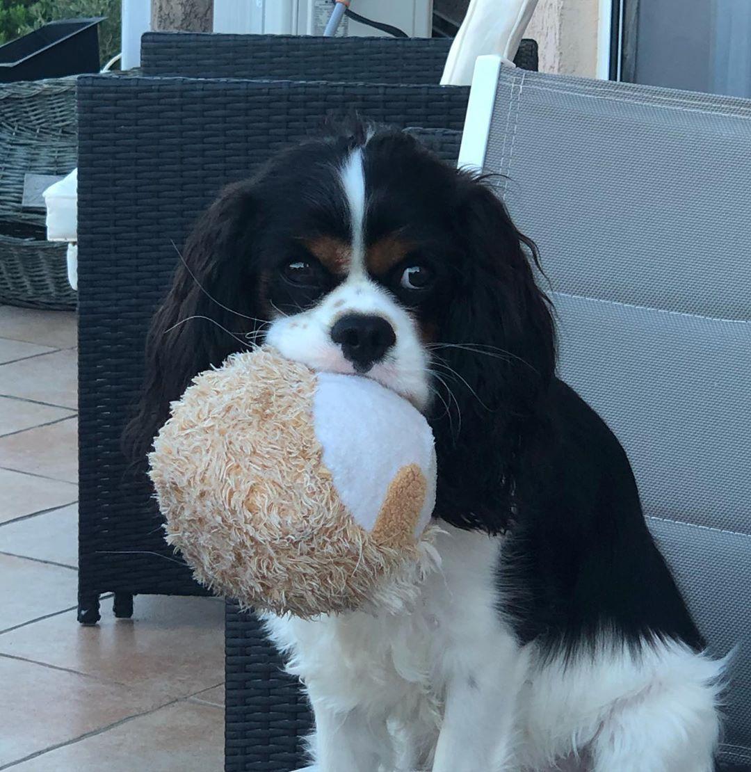 regalo cavalier king charles cucciolo