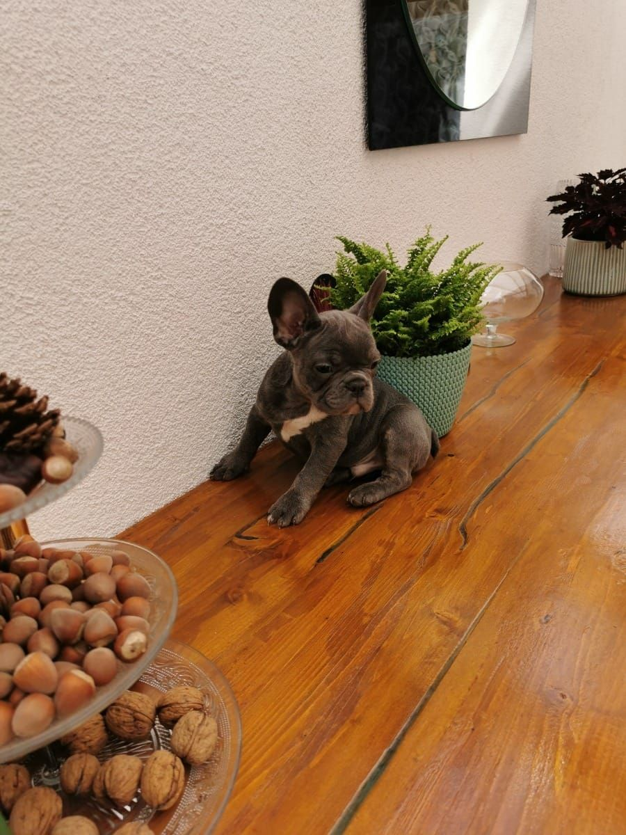 Bulldog francese merle maschietto